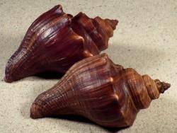 Volegalea cochlidium *dunkel* m/O PH 8,5+cm
