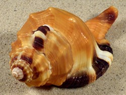 Lotoria grandimaculata m/O PH 8cm *Unikat*