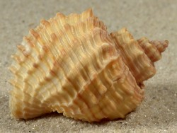 Cancellaria nodulifera JP 4,7+cm
