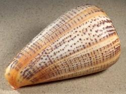 Conus suratensis PH 11,6cm *Unikat*