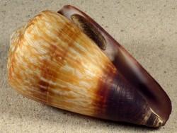 Conus miles m/O PH 8,7cm *Unikat*