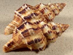Latirus polygonus m/O PH 9+cm