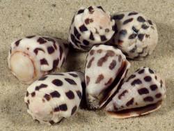 Conus ebraeus PH 1,5+cm