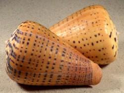 Conus betulinus PH 9,5+cm