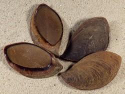 Pleuroploca trapezium Operculum PH 4,5+cm