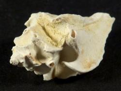 Talityphis floridanus Pliozän US 2cm *Unikat*
