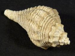 Heteropurpura polymorpha Pliozän IT 2,4cm *Unikat*