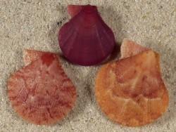 Palliolum tigerinum UK 1,8+cm (x3) Farbenset