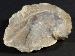 Exogyra plicifera Kreide FR 4,5cm *Unikat*