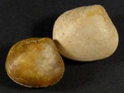 Palaeonucula variabilis Jura FR 1,9+cm