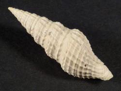 Hindsiclava perspirata Pliozän US 3cm *Unikat*
