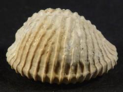 Pusula permagna Pliozän US 1,7cm *Unikat*