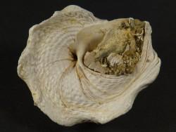 Xenophora crispa Pliozän IT 3,2cm *Unikat*