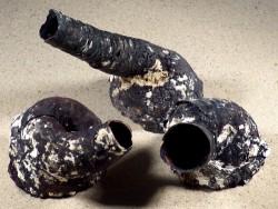 Serpulorbis colubrinus PH 7,5+cm