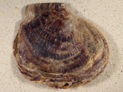 Isognomon ephippium PH 11+cm