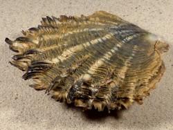 Pinctada margaritifera PH 8,5+cm