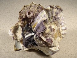 Alectryonella plicatula Cluster PH 11 cm *Unikat*