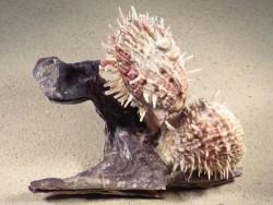 Malleus malleus mit Spondylus variegatus PH 16cm