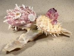 Malleus albus mit Spondylus multisetosus PH 17cm *Unikat*