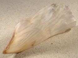 Streptopinna saccata PH 12,8cm *Unikat*