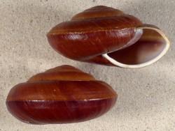 Pararyssota maxima PH 8,5+cm