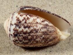 Conus arenatus PH 4,1cm *Unikat*