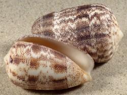 Conus arenatus PH 5+cm