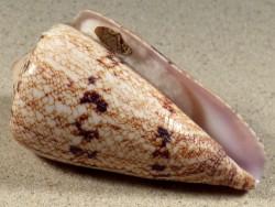 Conus araneosus m/O IN 7,2cm *Unikat*