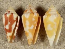 Conus curassaviensis AW 2,1+cm (x3) ~ Farbenset
