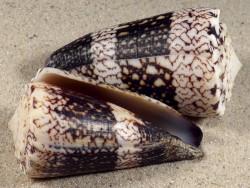 Conus vidua cuyoensis PH 5,2+cm