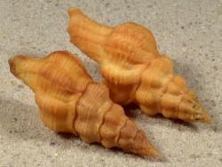 Latirus constrictus PH 4,4+cm