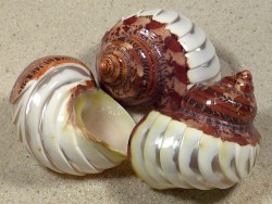 Turbo petholatus geschnitten 5+cm