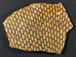 Araneograptus murrayi Ordovizium MA 6,5cm *Unikat*