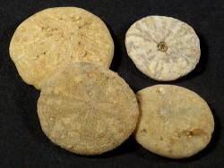 Vaquerosella andersoni Miozän US 1,3+cm