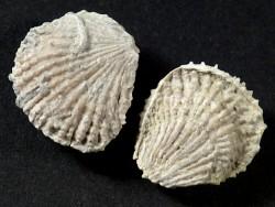 Plicatula fourneli Kreide ES 1,8+cm