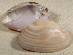 Elliptio crassidens (?) 1/2 Perlmutt 6,5+cm