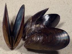 Mytilus chilensis CL 6+cm