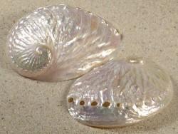 Haliotis discus Perlmutt 6+cm