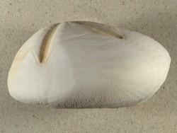 Metalia spec. PH 13+cm