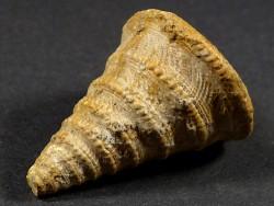 Pyrgotrochus elongatus Jura FR 3,4cm *Unikat*