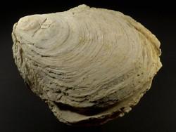 Ostrea edulis Pliozän ES 14,2cm *Unikat*