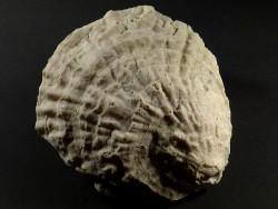 Ostrea edulis Pliozän ES 10,7cm *Unikat*