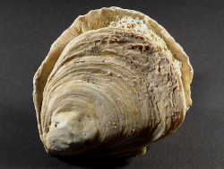 Ostrea edulis Pliozän ES 9,3cm *Unikat*