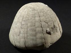 Echinocorys sulcata Paläozän DK 6,1cm *Unikat*