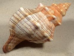 Pleuroploca trapezium 19+cm
