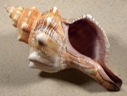 Pleuroploca trapezium 20,3cm *Unikat*