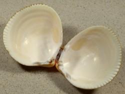 Laevicardium crassum DE-Nordsee 6,6cm *Unikat*