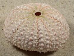 Echinometra mathaei PH 5,2cm *Unikat*