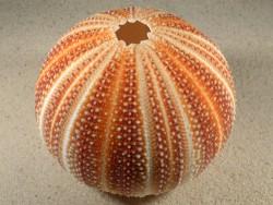 Echinus esculentus 11,8cm *Unikat*