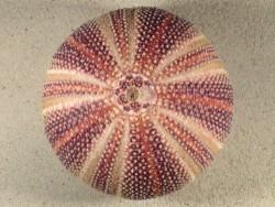 Echinus esculentus 12cm *Unikat*